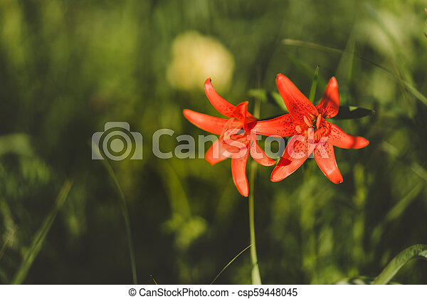 Red Siberian lily in a grass - csp59448045