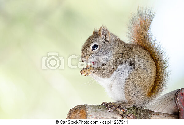 Red squirrel, close up, perched on sitting up on a tree branch. - csp41267341