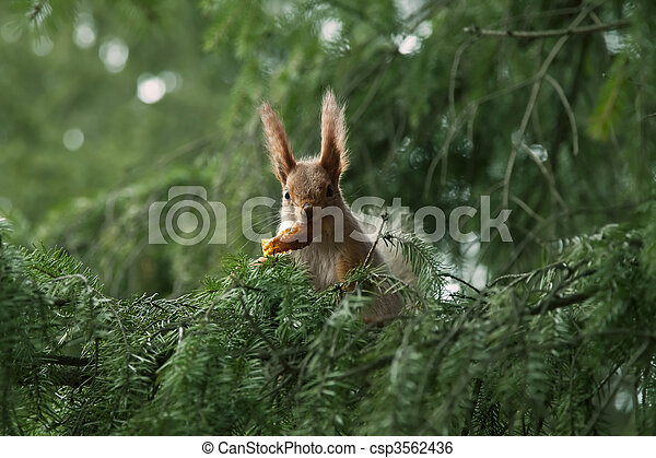 red squirrel in the branches of fir - csp3562436