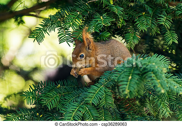 Red squirrel on a branch - csp36289063