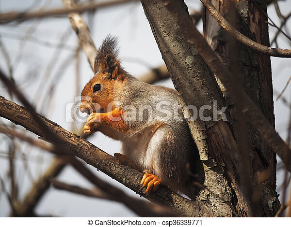 red squirrel on a feeding trough in the forest - csp36339771