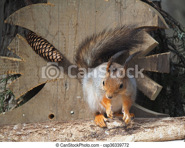 red squirrel on a feeding trough in the forest - csp36339772