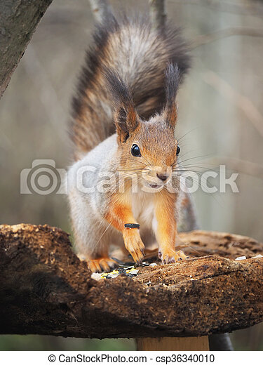 red squirrel on a feeding trough in the forest - csp36340010