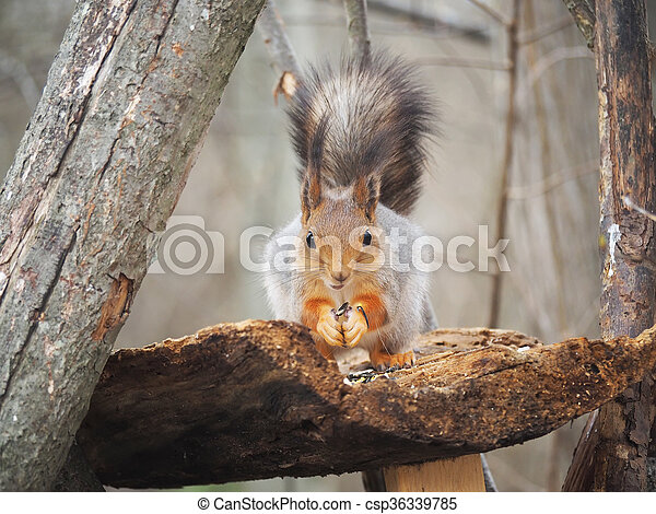 red squirrel on a feeding trough in the forest - csp36339785