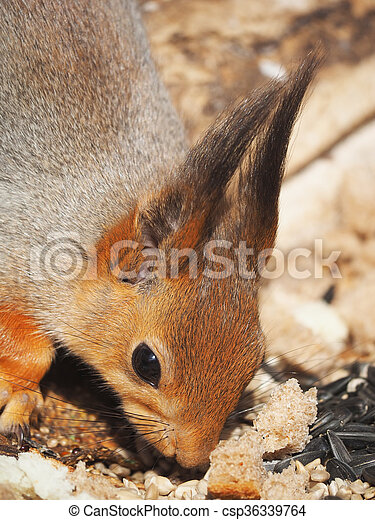 red squirrel on a feeding trough in the forest - csp36339764