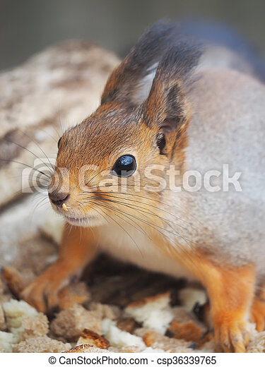 red squirrel on a feeding trough in the forest - csp36339765