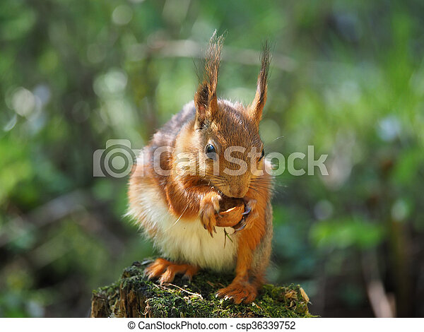 red squirrel on a feeding trough in the forest - csp36339752
