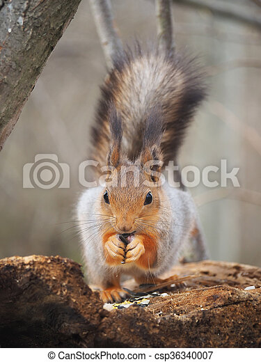 red squirrel on a feeding trough in the forest - csp36340007
