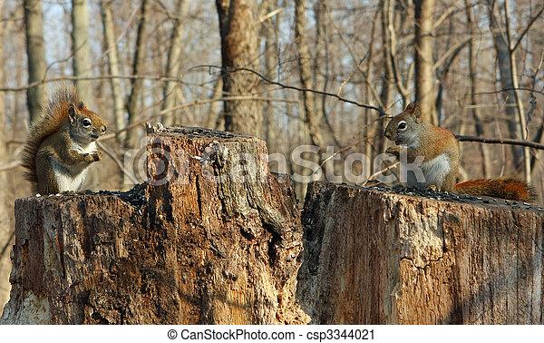 Red Squirrels - csp3344021