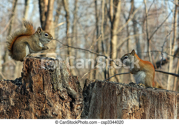 Red Squirrels - csp3344020