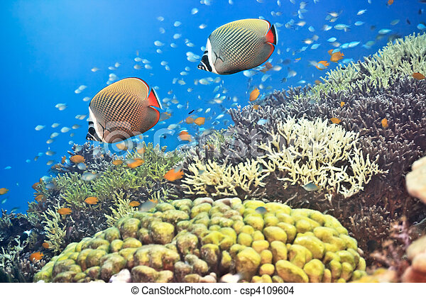 Red-tailed Butterflyfishes - csp4109604