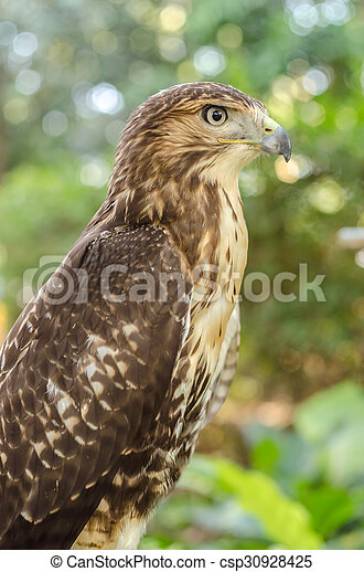 Red-tailed hawk (Buteo jamaicensis) Portrait sitting on a stick - csp30928425
