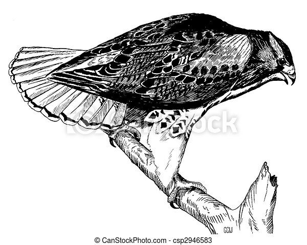 Red tailed hawk buteo jamaicensis drawings search for Red tailed hawk coloring page