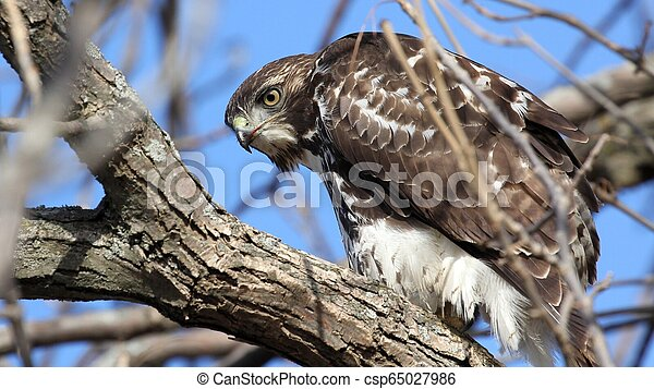 Red tailed hawk in a tree - csp65027986
