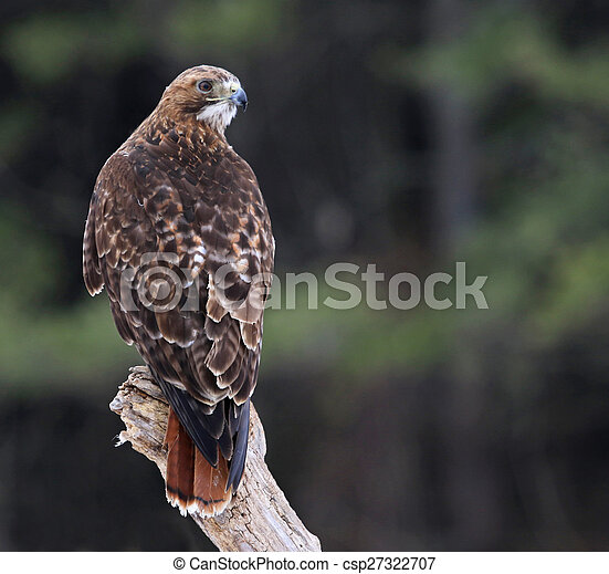 Red-tailed Hawk Looking Back - csp27322707