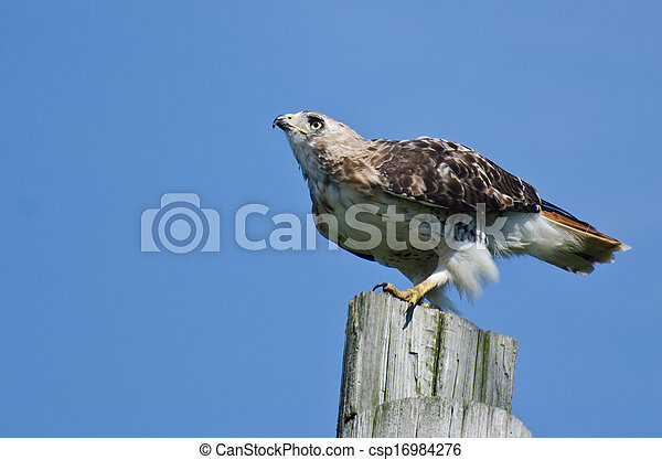 Red-Tailed Hawk Perched on a Pole - csp16984276