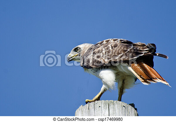 Red-Tailed Hawk Perched on a Pole - csp17469980