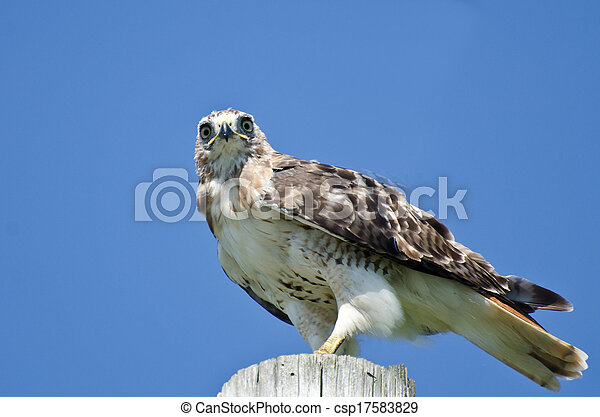 Red-Tailed Hawk Perched on a Pole - csp17583829