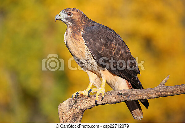 Red-tailed hawk sitting on a stick - csp22712079