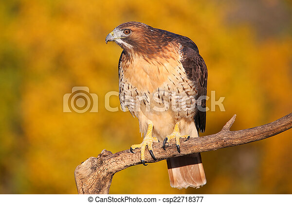 Red-tailed hawk sitting on a stick - csp22718377