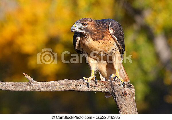 Red-tailed hawk sitting on a stick - csp22846385
