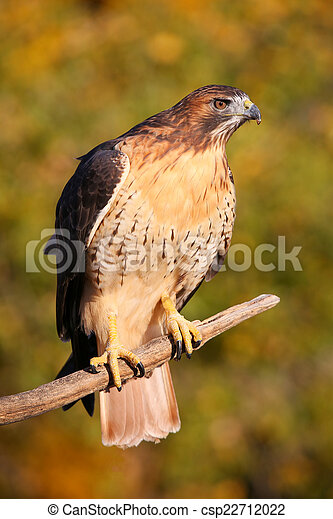 Red-tailed hawk sitting on a stick - csp22712022