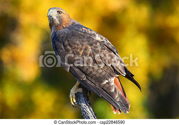 Red-tailed hawk sitting on a stick - csp22846590