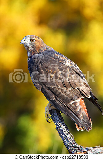 Red-tailed hawk sitting on a stick - csp22718533