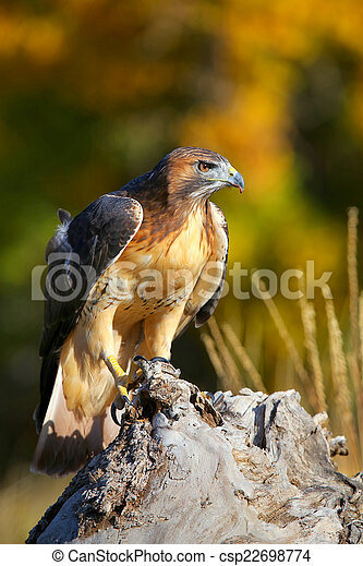 Red-tailed hawk sitting on a stump - csp22698774