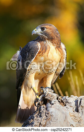 Red-tailed hawk sitting on a stump - csp25242271