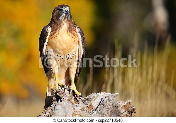 Red-tailed hawk sitting on a stump - csp22718548