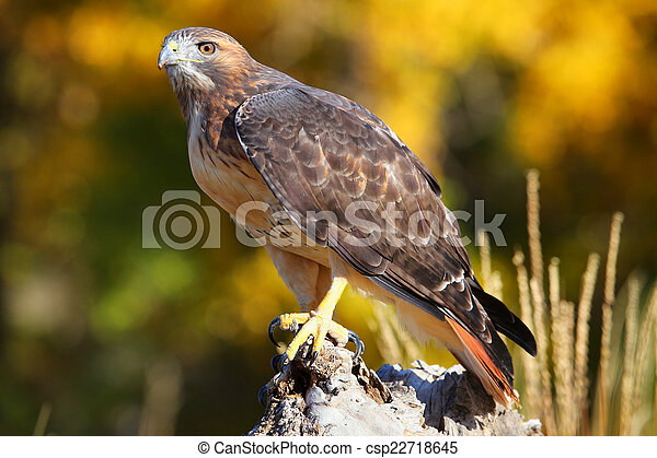 Red-tailed hawk sitting on a stump - csp22718645