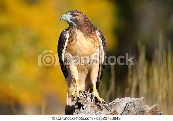 Red-tailed hawk sitting on a stump - csp22753843