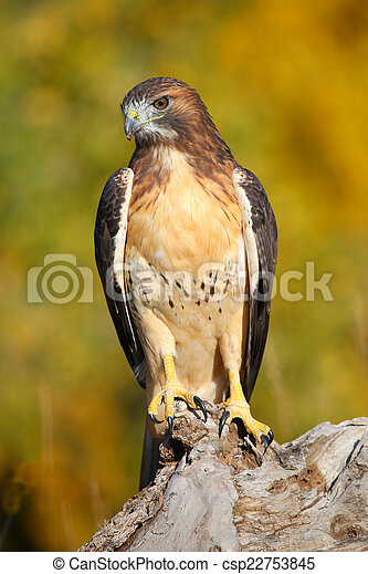Red-tailed hawk sitting on a stump - csp22753845