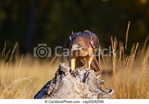 Red-tailed hawk sitting on a stump - csp25242095