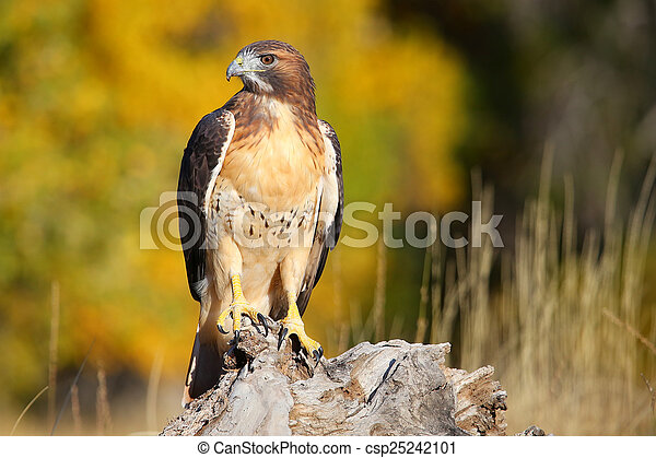 Red-tailed hawk sitting on a stump - csp25242101