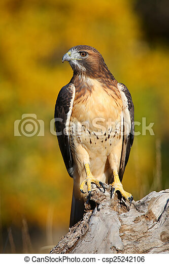 Red-tailed hawk sitting on a stump - csp25242106