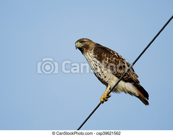 Red-tailed hawk sitting on a wire. - csp39621562