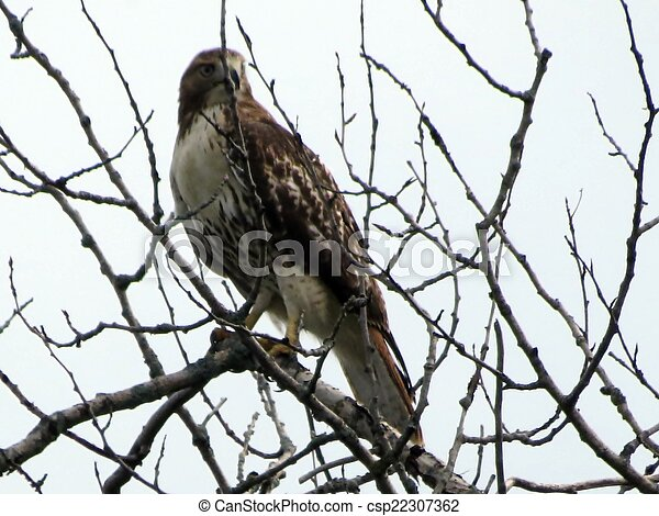 Red Tailed Hawk - csp22307362