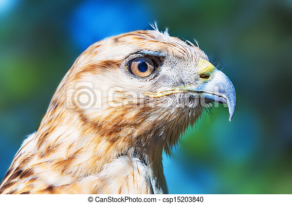 Red-tailed Hawk - csp15203840