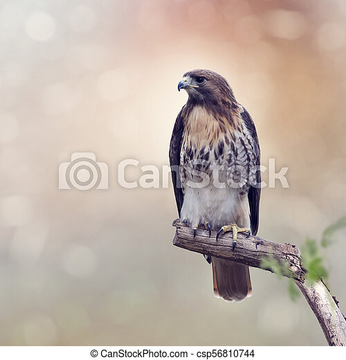 Red-Tailed Hawk - csp56810744