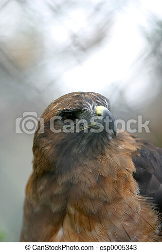 Red-Tailed Hawk - csp0005343