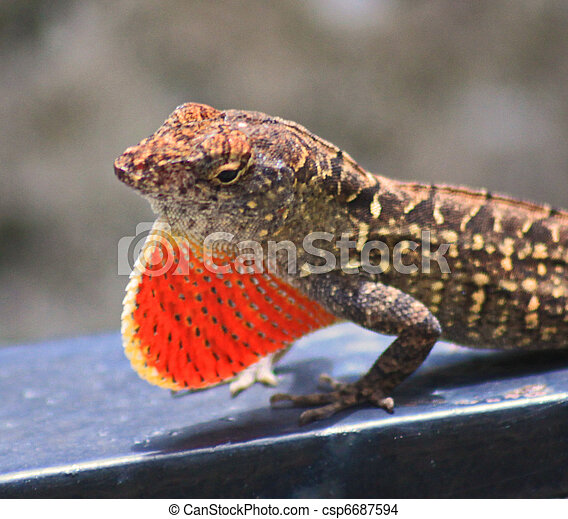 A Close Up Side View Of A Red Throat Lizard Expanding It S