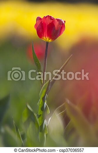 red tulip between a lot of yellow flowers in dutch flower field - csp37036557