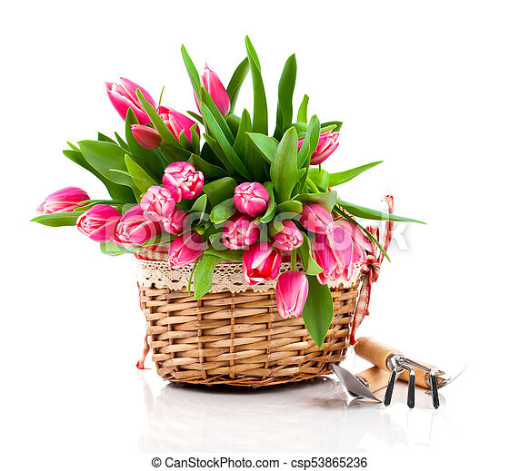 Red tulip flowers in a basket on a white background - csp53865236