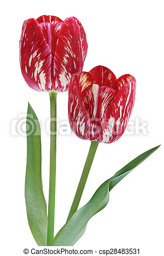 Red tulip flowers red and white tulip flowers isolated over red tulip flowers csp28483531 mightylinksfo