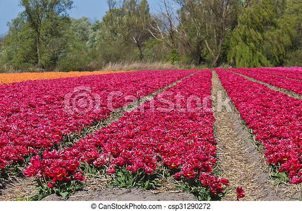 Red tulip growing at flower farm in Holland - csp31290272