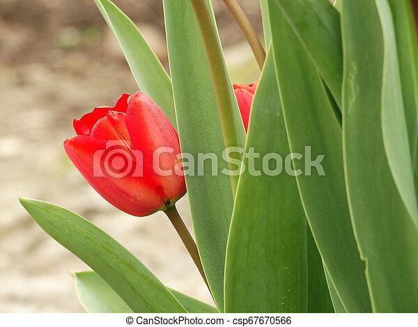 Red Tulip in a Garden - csp67670566