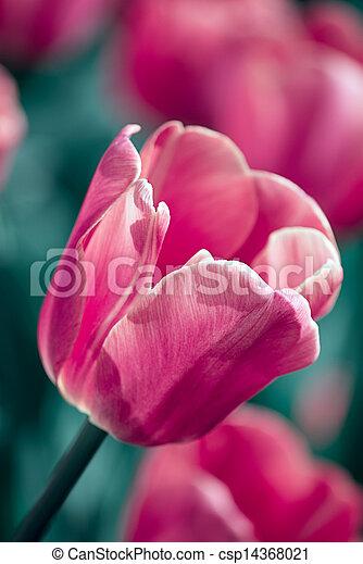 red tulip in a garden - csp14368021