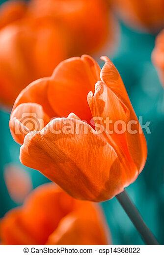 red tulip in a garden - csp14368022